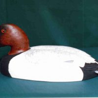 Canvasback by Bev Clark